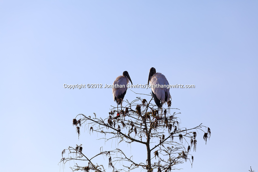 Wood Storks (Mycteria americana) perch in a cypress tree in Everglades National Park, Florida. WATERMARKS WILL NOT APPEAR ON PRINTS OR LICENSED IMAGES.