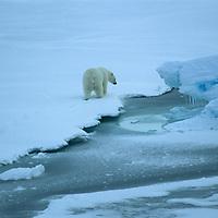 Polar Bear walks on floating ice in Arctic Ocean near Franz Josef Land, Russia.