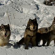 Gray Wolf (Canis lupus) Three wolves in snow. Montana. Winter. Captive Animal.