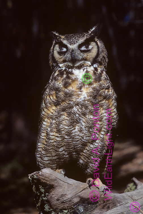 Great-horned owl with white upper eyelids closed may look from a distance like eyes are still open, © David A. Ponton