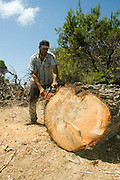 Israel, Carmel Forest, Foresters working in a natural forest, cutting down trees to thin out the forest Man slicing into a large tree trunk