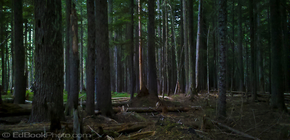 mature forest in the Tahoma State Forest in the Cascade Mountain Range of Washington state,USA.