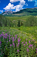 Wildflowers near Gothic (near Crested Butte), Colorado USA