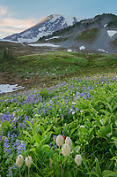 Paradise Wildfower Meadows containing  a mixture of False Hellebore, Broadleaf Lupines,American Bistort, Sitka Valerian, and Western Anenomes. Mount  Rainier National Park, Washington