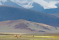 Mongolie. Province de Khovd. Troupeau de chameaux. // Mongolia. Khovd province. Camels.