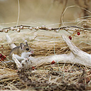 Adult deer mouse (Peromyscus maniculatus) on a shed whitetail deer antler. which it gnaws for calcium.