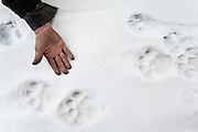 A Snow leopard track..Snow leopards are rare in the Pamir Plateau, but more present in the lower valleys...Trekking up the Wakhan frozen river, the only way up to reach the high altitude Little Pamir plateau, home of the Afghan Kyrgyz community.