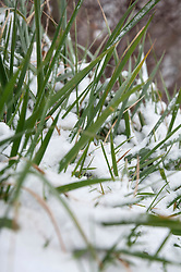 Detail grass close up snow cold winter spring