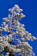 Rime ice on pine tree, San Bernardino National Foreset, California USA