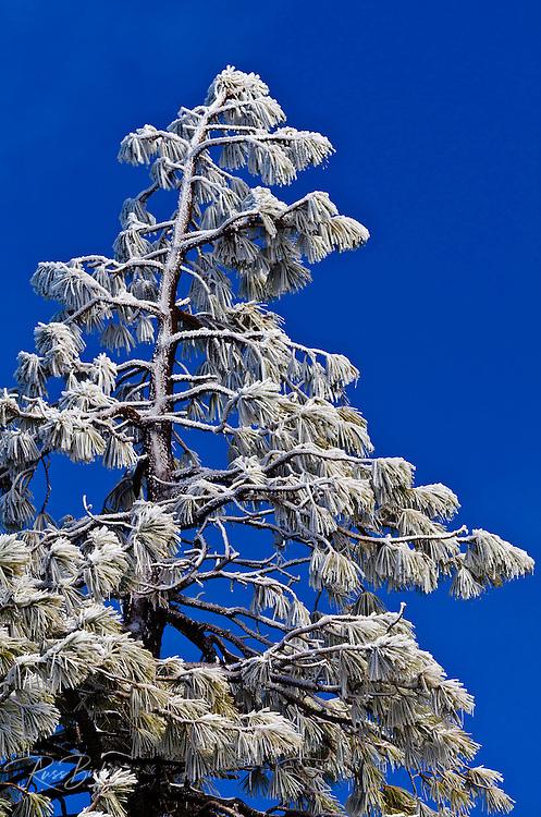 Rime ice on pine tree, San Bernardino National Foreset, California USA