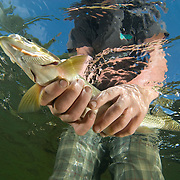 The headwaters of the Flathead River are home to all four endemic fish species of the watershed. In this picture a conservation savvy local fly fisher releases his catch, a fifteen-inch adult west slope cutthroat trout (Oncorhynchus clarkii lewisi);  ILCP RAVE; Flathead River Valley, British Columbia, Canada.  © Michael Ready