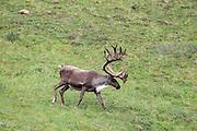 Barren Ground Caribou bull in arctic habitat