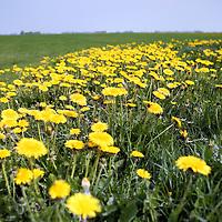Nederland, Achlum , 27 april 2011..Het schaatsveld, maar nu in het voorjaar..Achlum is een dorp, dat vanaf 1 januari 1984 bij de gemeente Franekeradeel behoort, in de provincie Friesland (Nederland). Het is een terpdorp aan de Slachtedyk met ongeveer 635 inwoners (2009)..Achlum ligt ten zuidoosten van Harlingen en ten zuidwesten van Franeker..Om te vieren dat Achmea tweehonderd jaar geleden door Ulbe Piers Draisma in Achlum werd opgericht, organiseert de verzekeraar op 28 mei 2011 de Conventie van Achlum. Allerlei sprekers hebben toegezegd naar Achlum te komen, waaronder Bill Clinton, oud-president van de Verenigde Staten. Alle bewoners van het dorp worden bij de festiviteiten betrokken..Foto:Jean-Pierre Jans