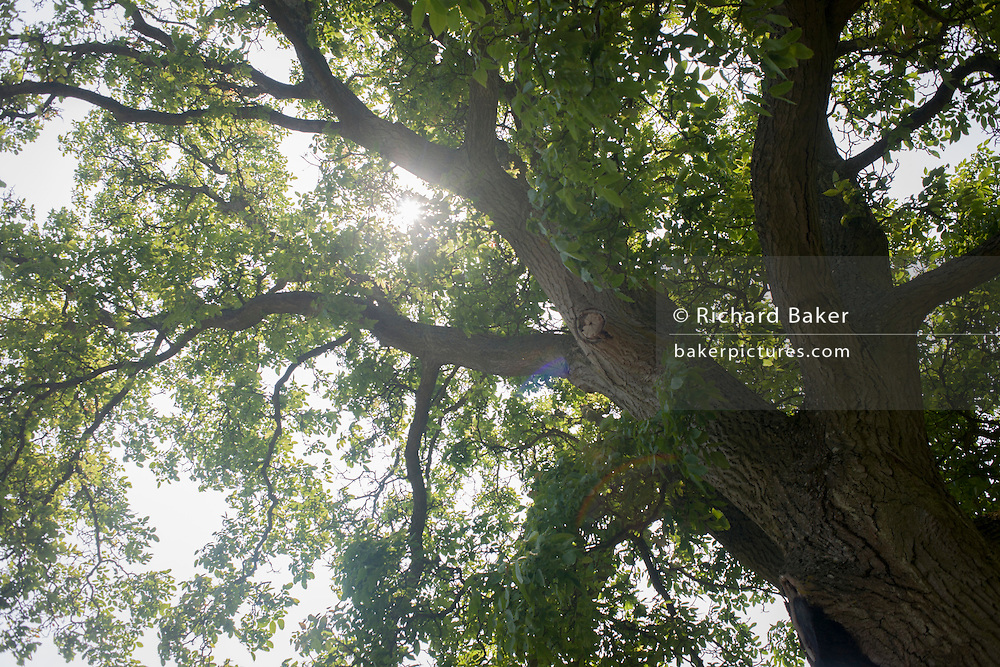 Summer sunshine and light through the branches and leaves of an English oak in Kent.