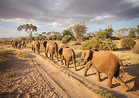 An elephant caravan in Samburu National Reserve, Kenya
