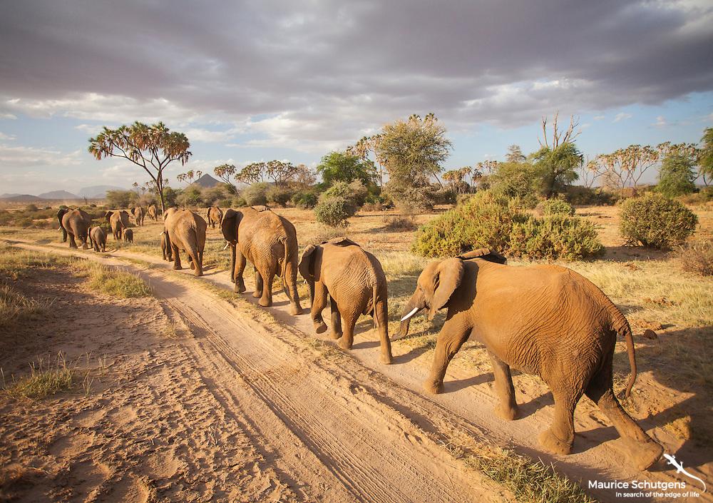 An elephant caravan in Samburu National Reserve, Kenya