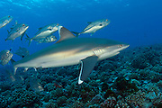 Silvertip Shark, Carcharhinus albimarginatus, swims along Avatoru Pass in Rangiroa, French Polynesia, while it is mobbed by a school of Bigeye Trevally, Caranx sexfasciatus