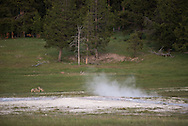 Coyote pups play near thermal features in the Fountain Flats area of Yellowstone National Park