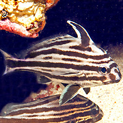 Highhat inhabit secluded areas of reefs, often under ledges, in recesses or near the entrance to caves in Tropical West Atlantic; picture taken Panama near San Blas Islands.