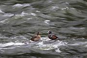 Harlequin Ducks, Yellowstone National Park