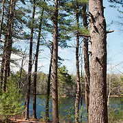 White Pine grove by a lake in Harold Parker State Forest, Andover, Massachusetts