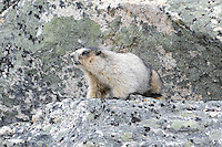 Hoary marmot amongst the rocks