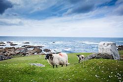 Blackface sheep on Achill Island, County Mayo, Ireland