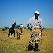 South America, Uruguay, Florida, ranch, unique Uruguayan Criollo horse breeding on a ranch or estancia.