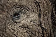 Get up close and personal with an amber elephant eye in the Maasai Mara.