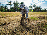 "23 NOVEMBER 2016 - AYUTTHAYA, THAILAND: A worker picks up rice in a field during the rice harvest in Ayutthaya province, north of Bangkok. This rice plants in the field were flattened by a wind storm and the worker was trying to salvage some of the rice. Rice prices in Thailand hit a 13-month low early this month. The low prices are hurting farmers. Rice exports account for around 10 percent of Thailand's gross domestic product, and low prices frequently lead to discontent in the rural areas of Thailand. The military government has responded by sending soldiers to rice mills, to ""encourage"" mill owners to pay farmers higher prices. The Thai army and navy are also buying for their kitchens directly from farmers in an effort to get more money into farmers' hands.  PHOTO BY JACK KURTZ"