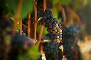 Pinot Noir Grapes expressing véraison at Carlton Cellars Vineyard near Carlton, Oregon