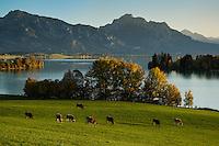 Cows graze in pasture above Forggensee, Allagäu, Bavaria, Germanz
