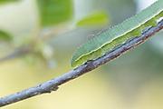 Brimstone (Gonepteryx rhamni) caterpillar on alder buckthorn. Sussex, UK.