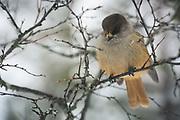 Siberian jay (Perisoreus infaustus) sitting in branches of birch, Saariselkä, Finland Ⓒ Davis Ulands | davisulands.com