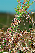 COMMON DODDER Cuscuta epithymum (Cuscutaceae) * Climbing. Bizarre, parasitic and leafless plant that lacks chlorophyll and gains its nutrition from host plants, which include Heather, clovers and other herbaceous plants. Found in grassy places and on heaths, the slender, red stems twining through the vegetation. FLOWERS are 3-4mm across, pink and borne in dense clusters (Jul-Sep). FRUITS are capsules. LEAVES are absent. STATUS-Locally common in S; scarce elsewhere.