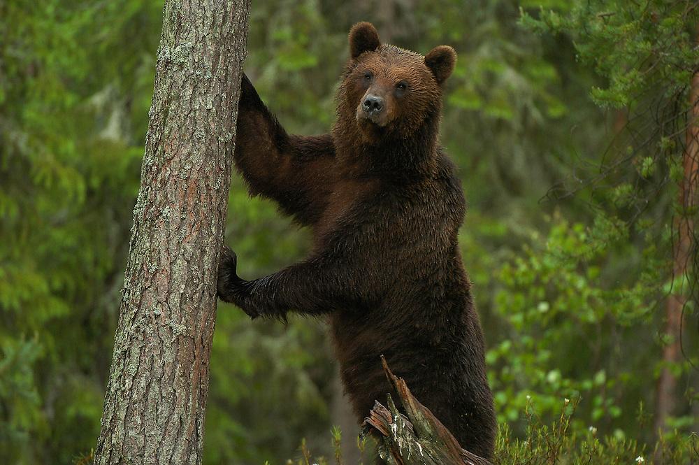 Eurasian brown bear, Ursus arctos, Kuhmo, Finland