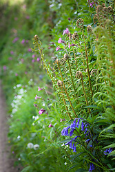 Ferns, Red Campion, Greater Stitchwort and Bluebells growing in a hedgerow by a Devon lane. Silene dioica, Stellaria holostea, Hyacinthoides non-scriptus