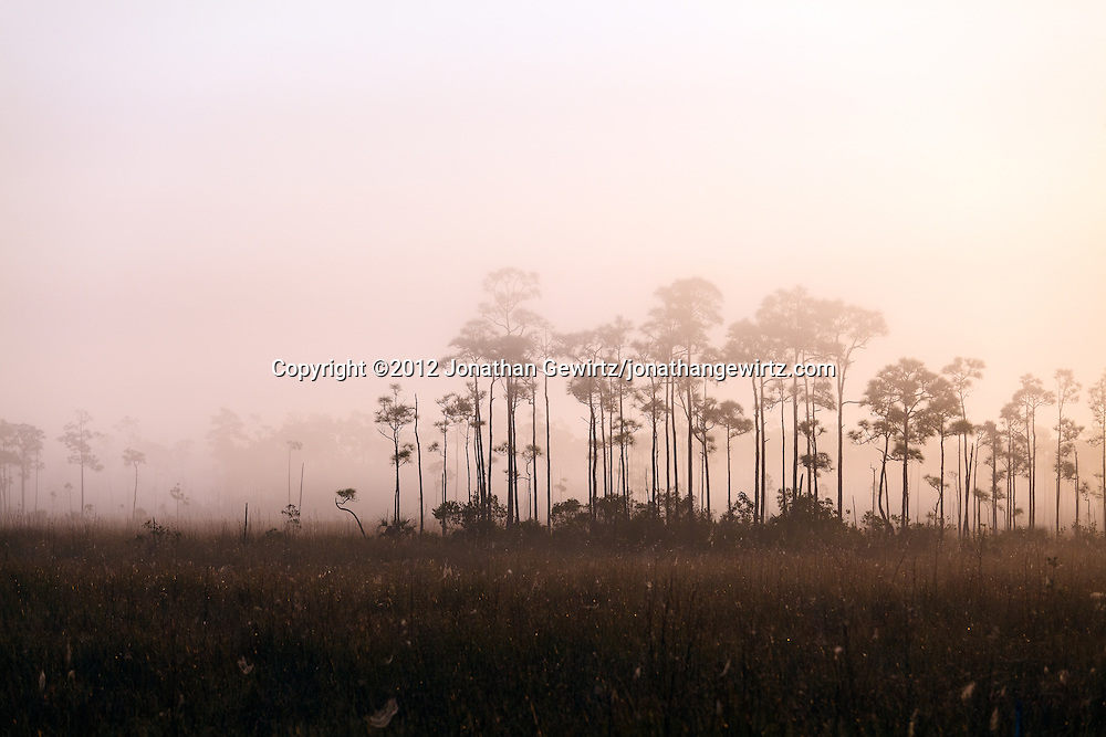 A small hammock of pine or cypress trees protrudes from early-morning fog in a sawgrass prairie meadow in Everglades National Park, Florida. WATERMARKS WILL NOT APPEAR ON PRINTS OR LICENSED IMAGES.