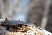Photograph of Lincoln's Sparrow (Melospiza lincolnii) from San Pedro Riparian National Conservation Area, AZ