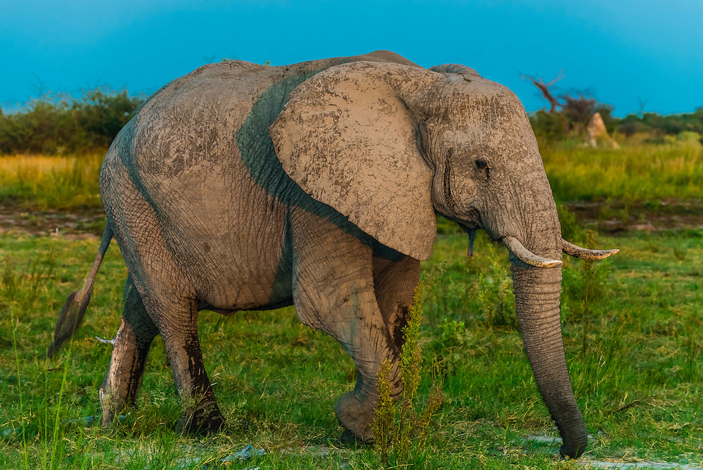 Baby elephant, Kwando Concession, Linyanti Marshes, Botswana.