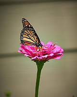 Monarch Butterfly. Image taken with a Fuji X-H1 camera and 80 mm f/2.8 macro lens (ISO 200, 80 mm, f/4, 1/750 sec).