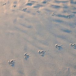 Bird tracks on North Beach at Fort De Soto Park in Pinellas County, Florida.