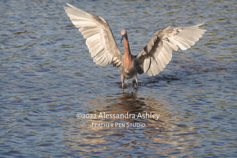 """Reddish egret reveals magnificent wings while """"dancing"""" and hunting.  This species of egret dances to confuse prey, then strikes."""