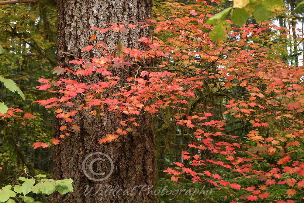 Vine Maples fall color