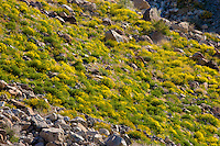 Mexican Gold Poppies (Eschscholtzia mexicana) spilling down a slope in the Anza-Borrego Desert, California