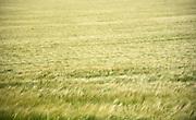 Wheat field, Loire Valley, Near Orleans, France