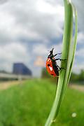 Autobahn A81 bei Empfingen - Siebenpunkt-Marienkäfer (Coccinella septempunctata) |  ladybird or ladybugs or ladybird beetles or lady beetles (Coccinella septempunctata)