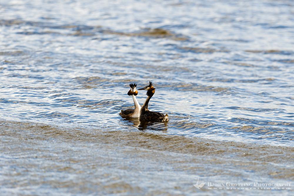 Sweden, Lake Hornborga. Great Crested Grebe.