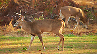 Bucks in the afternoon sun. Outdoor Autumn Nature in New Jersey. Image taken with a Nikon D4 camera and 500 mm f/4 VR lens (ISO 1250, 500 mm, f/4, 1/500 sec).