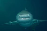 Lemon Shark, coming at ya'